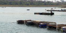 Polo de piscicultura no noroeste de SP sente os efeitos da seca